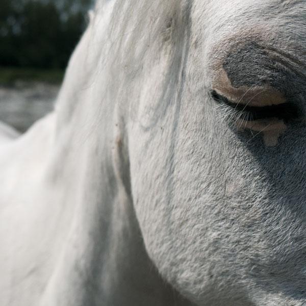 de verrassende kijk van een zevenjarige naar een close up foto van wit grijs paard met gesloten oog en lange wimpers